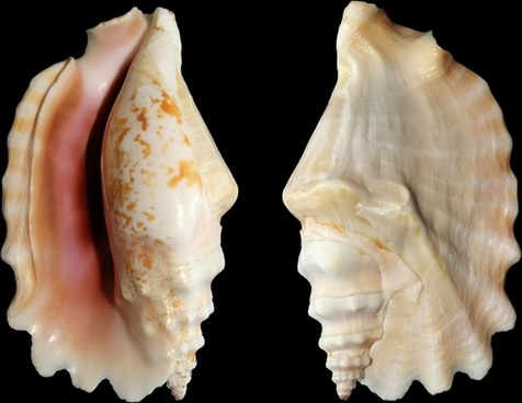 knobbed conch snail shell