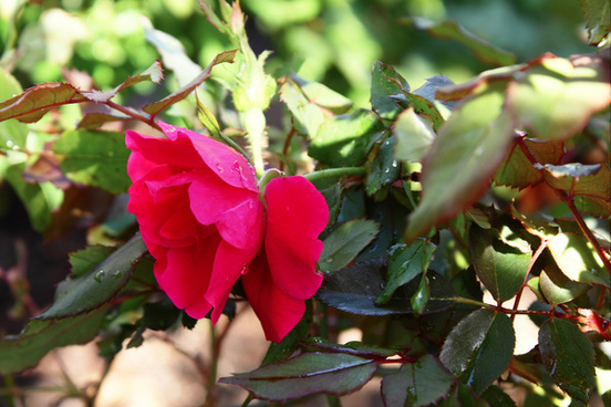 knockout roses just started blooming first blooms of the year