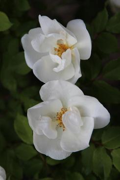 knockout white rose