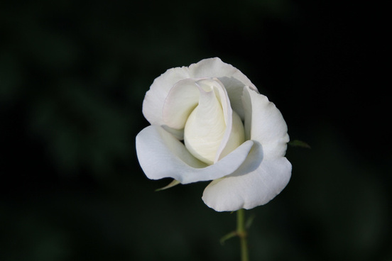 knockout white rose