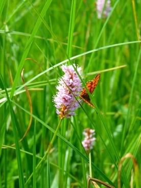 knotweed reported knotweed grassland plants