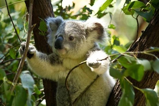 koala bear koala bear