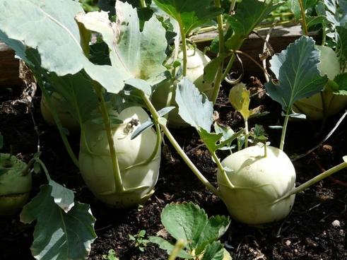 kohlrabi turnip kohl