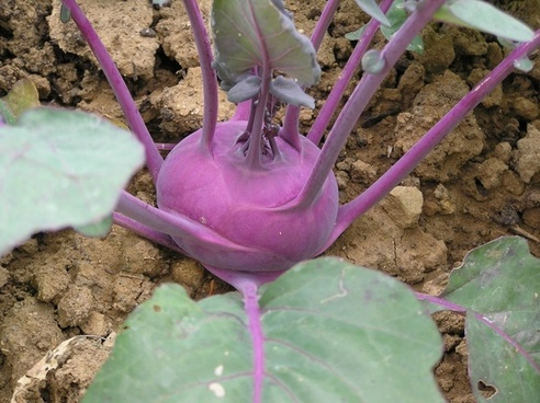 kohlrabi vegetables violet