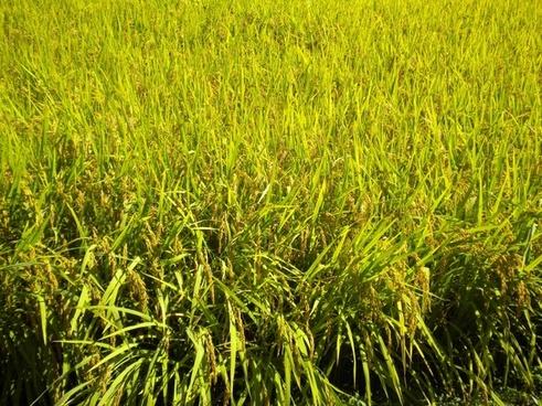 korea gyeonggi gapyeong rice farm