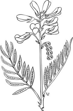 Ku Hedysarum Boreale Outline clip art