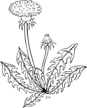 KU taraxacum officinale