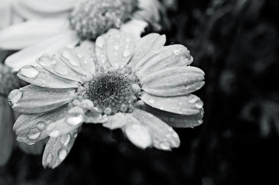 la pequea daisy