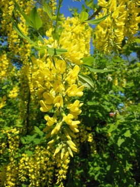laburnum anagyroides pea family close up