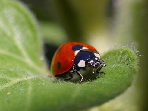 ladybug beetle red