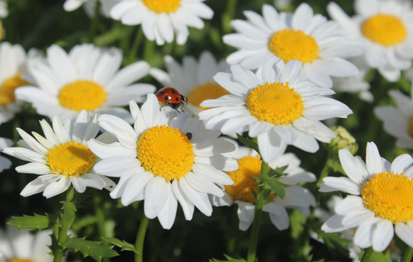 ladybug daisies