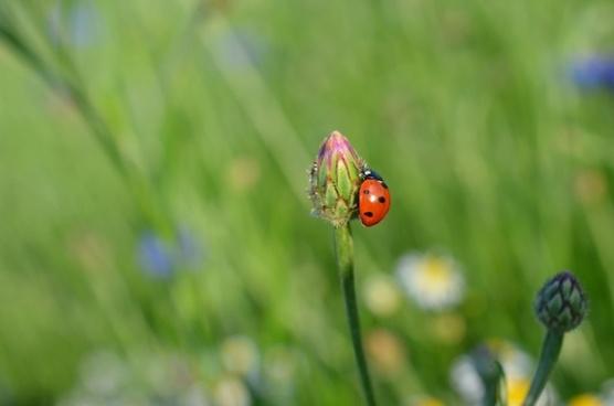 ladybug insect summer