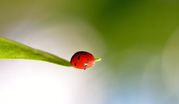 ladybug spring ladybugs
