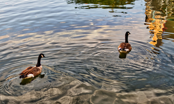 lake thoreau ducks