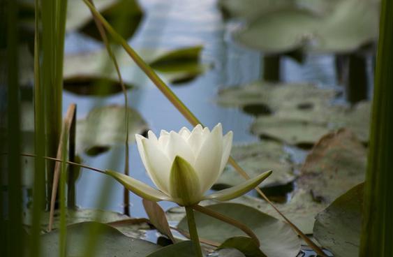 lake wood uckfield water lily flower