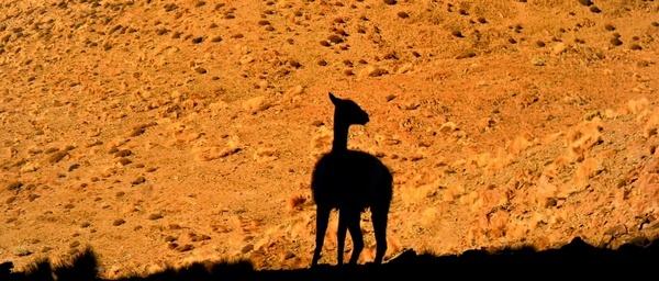 lama andes desert
