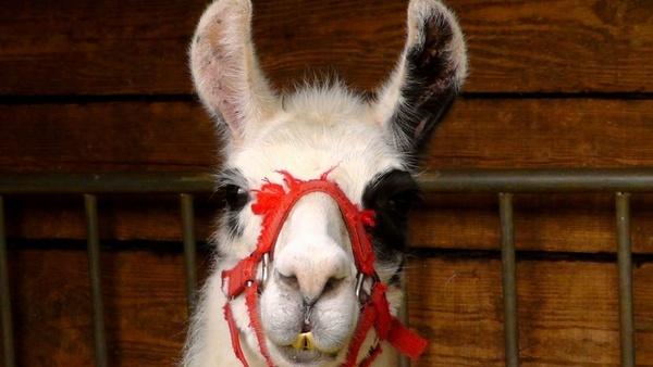 lama animal circus