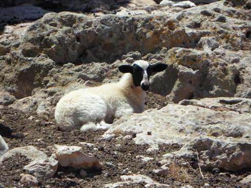 lamb sheep animal
