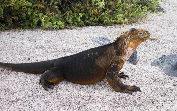land iguana ii