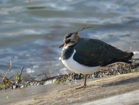 lapwing at my local patch