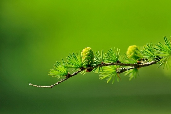 larch branch tree
