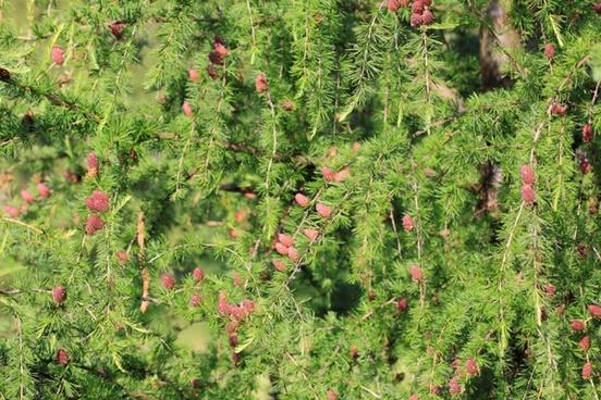 larch cones
