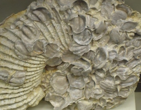 large fossilized ammonite shell