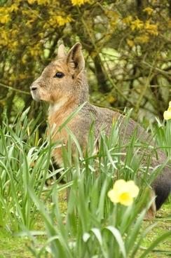 large mara steppe hare pampashase