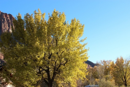 large tree with yellow leaves on clear sky