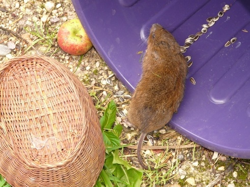 large vole east water vole mouse