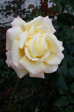 large white rose bloom