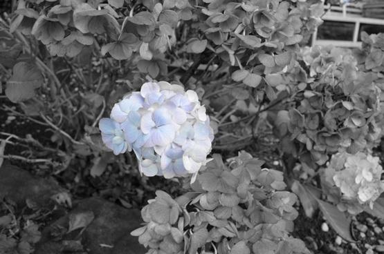 last blue flowers
