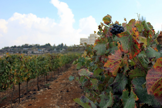 late late grapes in gush etzion