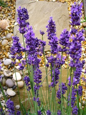 lavandula lavender flower