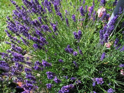 lavender flowers flower