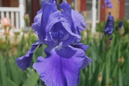 lavender iris 2