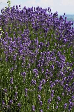 lavender plant purple