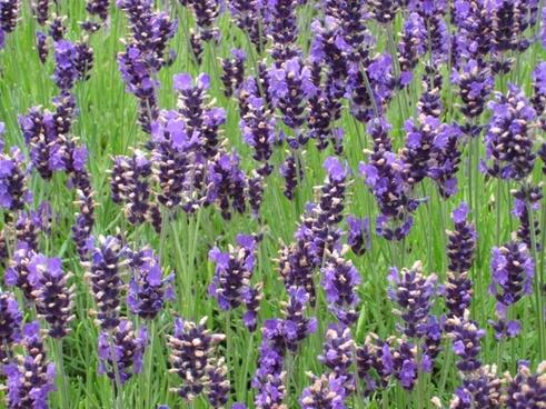 lavender purple lavender bunch