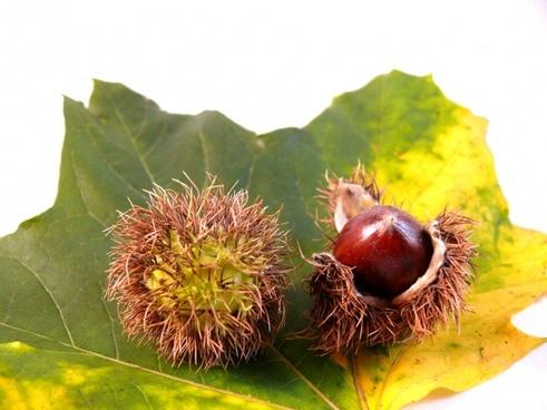 leaf flora nut
