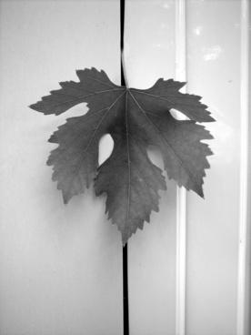 leaf screw vineyard