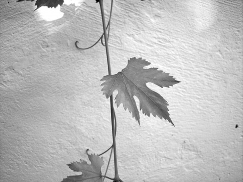 leaf screw wine