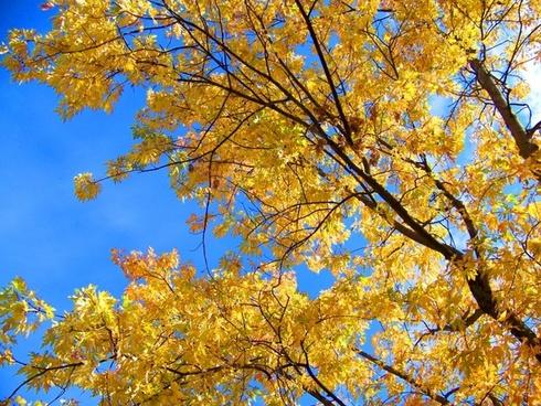 leaves autumn yellow