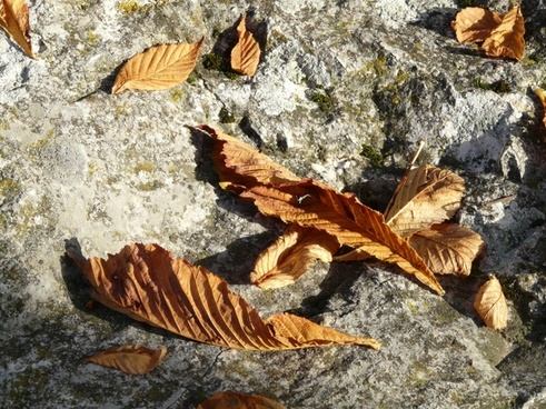 leaves brown fall foliage