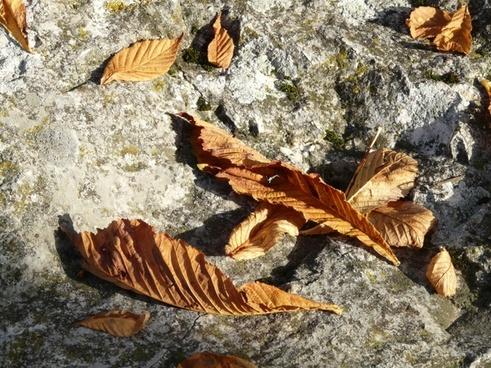 leaves brown fall foliage