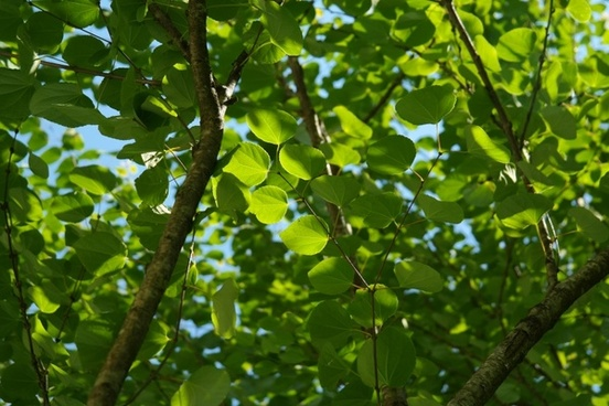leaves green japanese kuchenbaum
