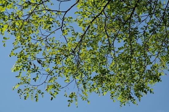 leaves green robinia