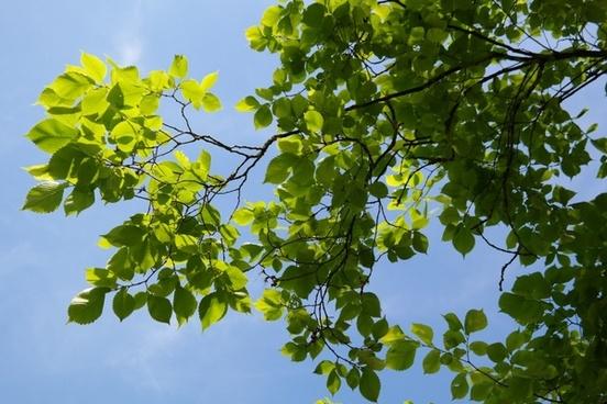 leaves green tree