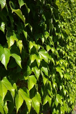 leaves greening wall