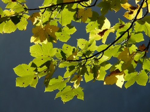 leaves mountain maple autumn