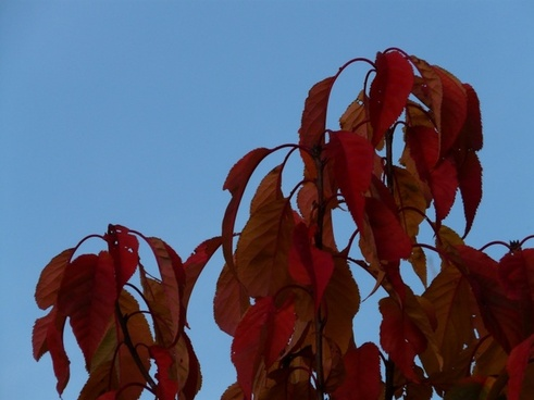 leaves red red leaves